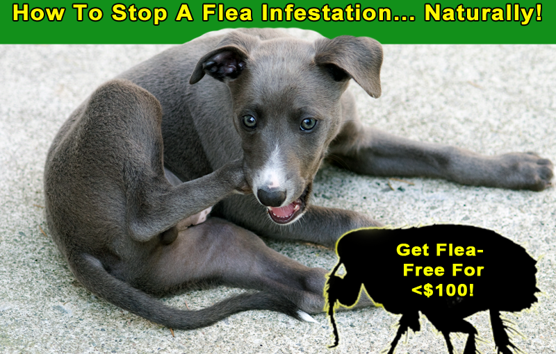 How To Stop A Flea Infestation… Naturally!